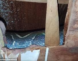 """Hãi hùng phát hiện trăn """"khủng"""" làm tổ trên mái nhà suốt 4 năm"""