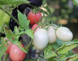 Rau sạch vườn nhà: Trồng cây lấy quả không hề khó