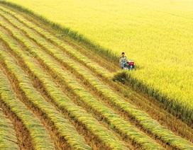 Trồng lúa không thể giàu, tại sao phải xuất khẩu gạo giá rẻ?