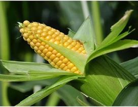 Cách trồng ngô không độc