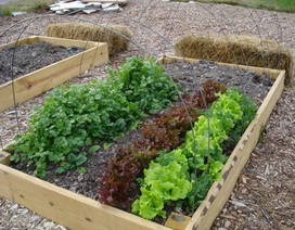 Rau sạch vườn nhà: Bí quyết trồng các loại rau nấu canh