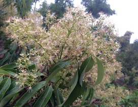 Vải thiều muộn Lục Ngạn: Chỉ 35% diện tích ra hoa, người trồng vải khóc ròng