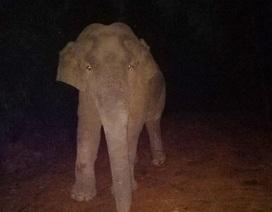 """Nửa đêm voi rừng vào lán chơi đùa, """"tạo dáng"""" cùng công nhân"""