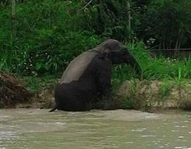 Voi rừng ở Sơn La xuống bản tắm ao, giẫm lúa của dân