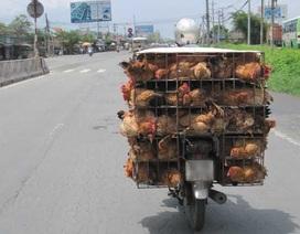 Công điện khẩn về nguy cơ dịch cúm gia cầm A/H7N9 vào Việt Nam