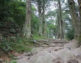 Đầu tư trên 26 tỷ đồng bảo tồn 237 cây xích tùng cổ