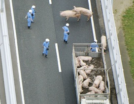 Lợn sổng chuồng gây đình trệ giao thông trên đường cao tốc ở Nhật
