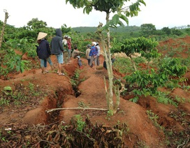 Dân bất chấp nguy hiểm vào vùng sạt lở thu hoạch cà phê