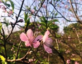 Người trồng đào lo thất thu vì hoa bung nở sớm