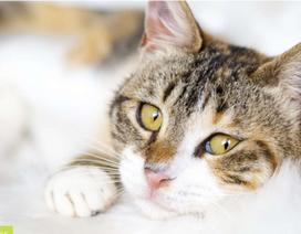 Mèo cũng có thể thuận chi trái hoặc chi phải giống như người