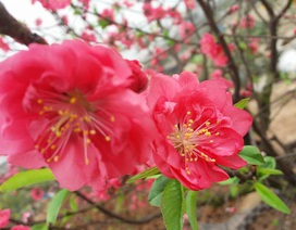 """Chuyên gia chia sẻ các kỹ thuật """"nước rút"""" giúp cây hoa đào nở rộ vào đúng dịp Tết"""