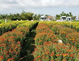 Mãn nhãn với làng hoa cúc nổi tiếng Nam Trung Bộ ngày giáp Tết