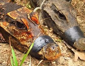 Cá sấu hang động màu cam bí ẩn ở Châu Phi đang biến đổi thành một loài mới