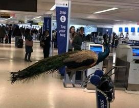 """Hành khách Mỹ """"năn nỉ"""" được mang chim công lên máy bay"""