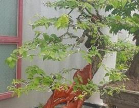 """""""Cụ"""" hoa giấy dáng """"siêu phàm"""", còi dí mà giá hơn 100 triệu đồng ở Nam Định"""