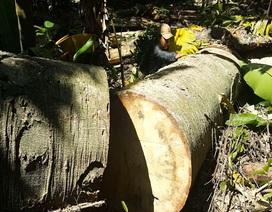 """Hãi hùng cảnh cây rừng """"khủng"""" bị chặt hạ, tàn phá"""