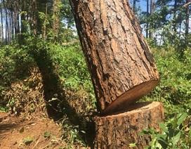 """Rừng thôngngay cạnh đồn công an bị """"bức tử"""" để chiếm đất"""