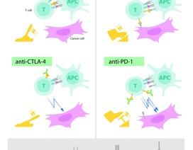 Giải Nobel Y học: Hệ miễn dịch có thể tham gia điều trị ung thư không?