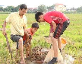 Săn chuột đồng kiếm tiền triệu mỗi ngày ở ngoại thành Hà Nội