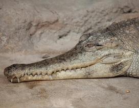Các nhà khoa học phát hiện ra loài cá sấu mới ở Trung Phi