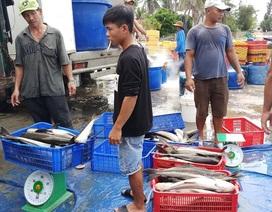 Khốn đốn vì cá bớp bất ngờ chết hàng loạt ở Bắc Vân Phong