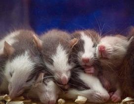 Giảm tỉ lệ sinh sản của chuột nhờ… nước mắt chuột con