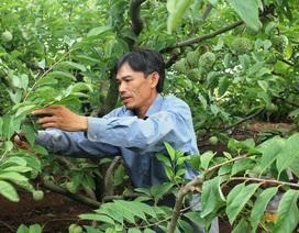 Làm giàu hiệu quả nhờ trồng na trên vùng đất cằn
