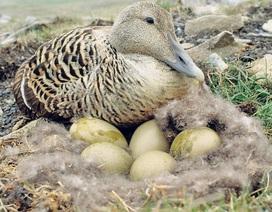 Chiếc chăn làm bằng lông vịt có giá... 350 triệu đồng