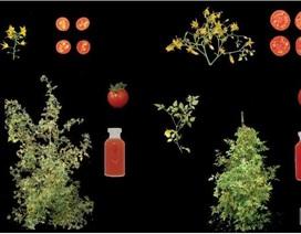 Tạo ra giống cà chua mới nhờ cây dại