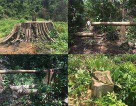 Khẩn trương làm rõ vụ phá rừng nghiêm trọng tại Bình Phước