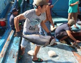 Lao đao vì sản lượng cá ngừ đại dương èo uột, mất mùa kéo dài