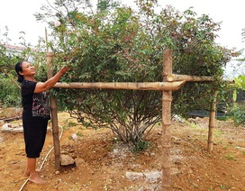 Cây hồng phấn cổ tán rộng chục người ôm giá hơn 60 triệu đồng không bán