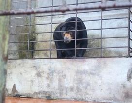 Giải cứu cá thể gấu chó 16 năm tuổi bị nuôi nhốt tại Lâm Đồng