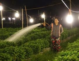 """Quảng Ngãi: Chong đèn """"đánh thức"""" hoa cúc chuẩn bị đón Tết Nguyên Đán"""
