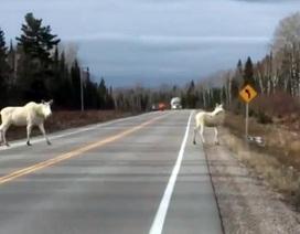 Bắt gặp cặp nai sừng tấm màu trắng hiếm gặp trên… đường cao tốc