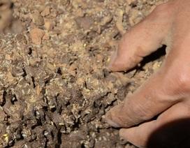 Quảng Ngãi: Vào rừng đào mối vỗ béo cho đàn gà