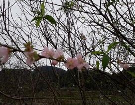 """Hoa đào đón xuân sớm ở nơi """"Đà Lạt của xứ Thanh"""""""