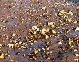 Người dân thất thu vì cá, ngao chết hàng loạt không rõ nguyên nhân