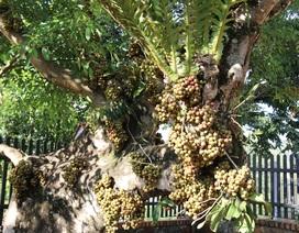 Độc đáo cây sung trăm tuổi dáng tuần lộc, cho trái quanh năm