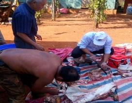 Giật mình cảnh sán dây rơi khi làm thịt lợn thả rông, hàng loạt người nhiễm bệnh