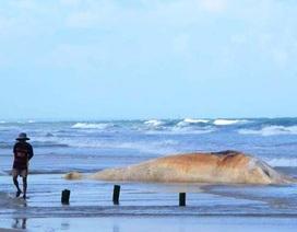 """Xác """"cá ông"""" 10 tấn dạt vào bờ biển Quảng Trị"""
