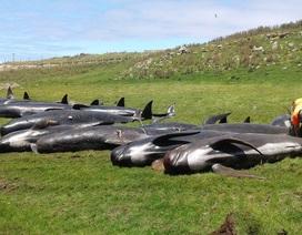 Hàng chục cá voi hoa tiêu mắc cạn và chết ở New Zealand