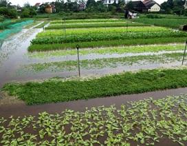 Nông dân trắng tay vì mưa lớn gây ngập úng rau quả vụ Tết