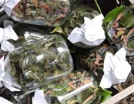 Cỏ lạ được Trung Quốc mua với giá chục triệu đồng/kg, người dân đổ xô vào rừng tìm kiếm