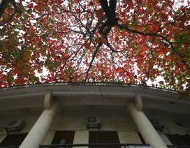 Hà Nội mùa cây bàng đỏ lá