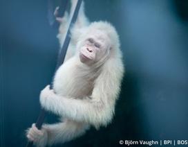 Đười ươi bạch tạng đầu tiên trên thế giới được thả về tự nhiên