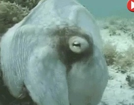 """Video: Bạch tuộc """"biến hình"""" nhanh như chớp gây kinh ngạc"""