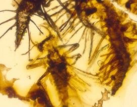 Côn trùng 130 triệu năm tuổi bị mắc kẹt trong hổ phách ngay khi vừa được sinh ra
