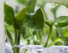 Cây biến đổi gen có thể làm sạch không khí ô nhiễm