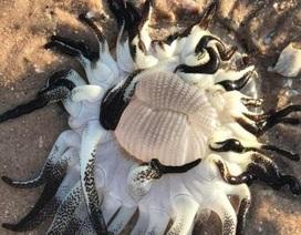 Quái vật tua tủa xúc tu dạt vào bờ biển Úc
